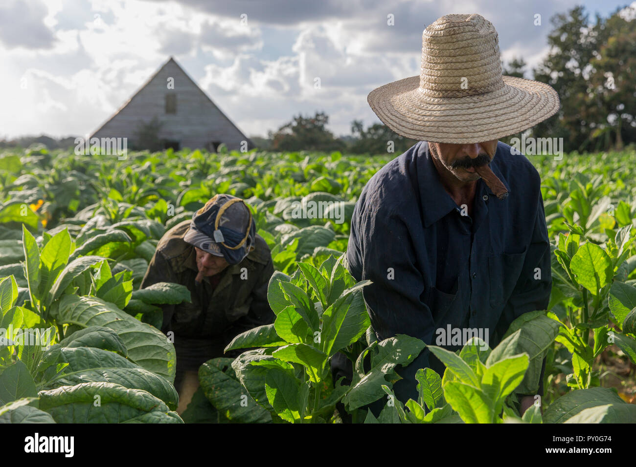 Two men smoking cigars while harvesting tobacco leaves in plantation, Vinales, Pinar del Rio Province, Cuba - Stock Image