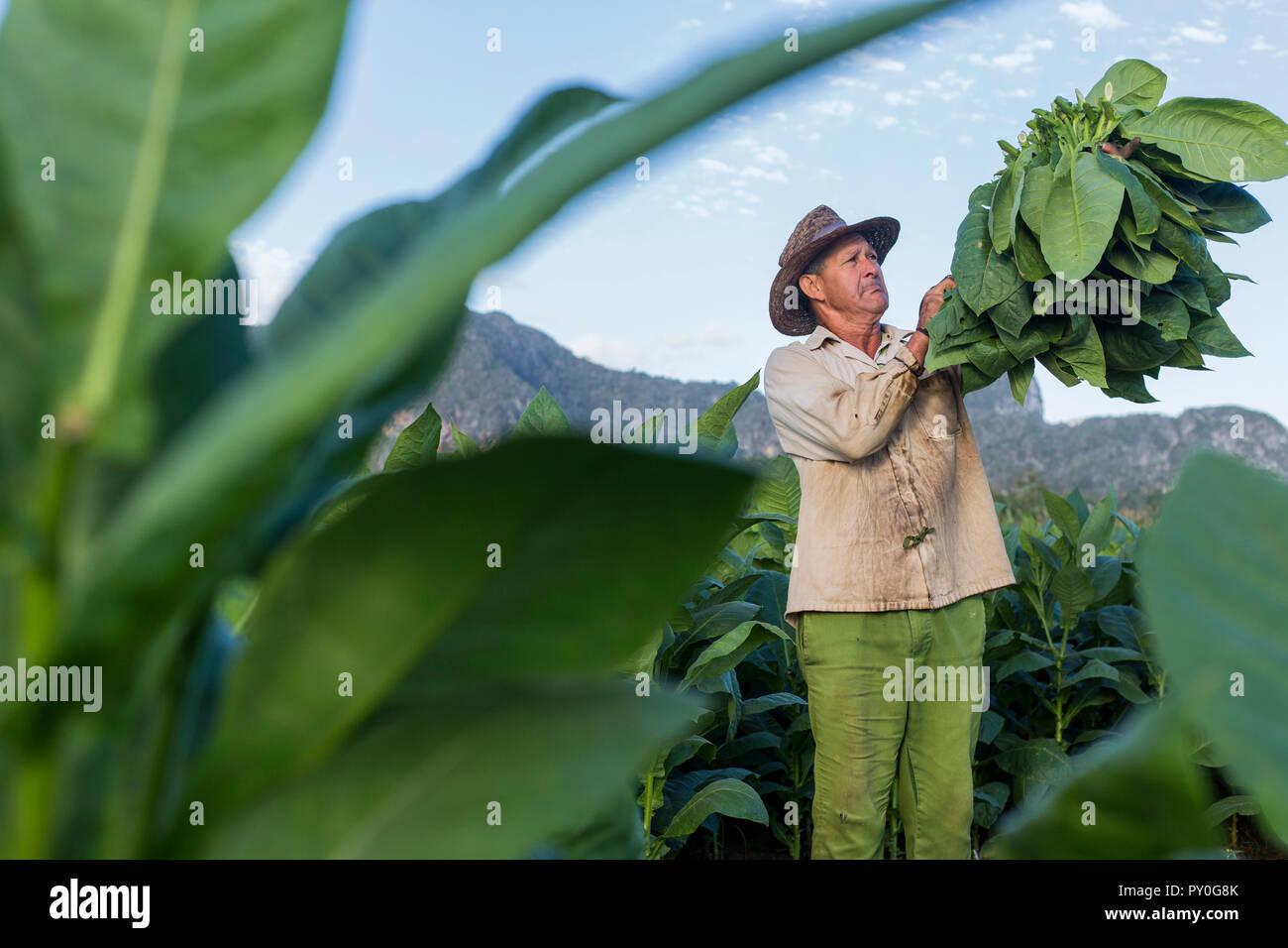 Male worker harvesting tobacco leaves in plantation, La Palma, Pinar del Rio Province, Cuba - Stock Image