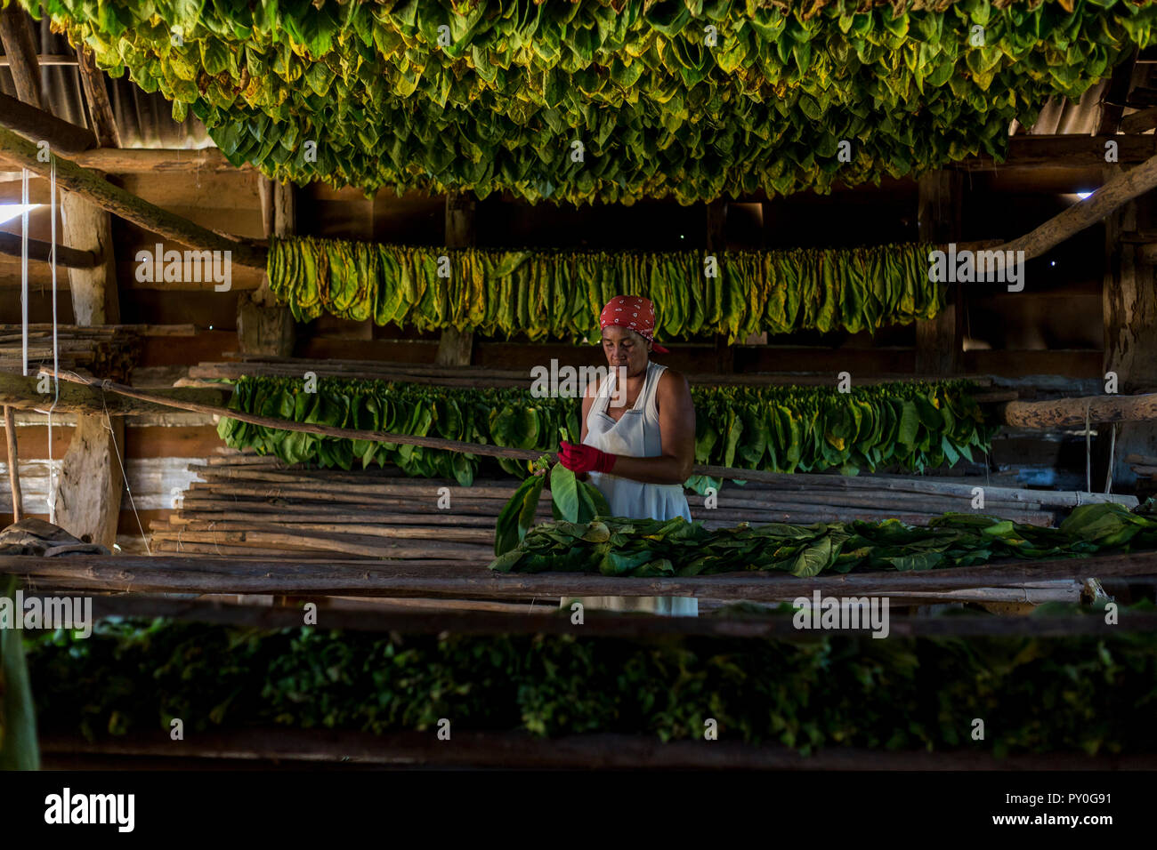 Mature woman wearing headscarf threading and drying tobacco leaves, Vinales, Pinar del Rio Province, Cuba - Stock Image