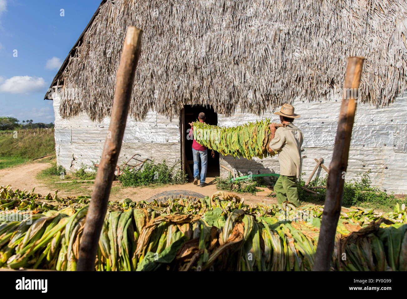Two men carrying tobacco leaves in plantation, Vinales, Pinar del Rio Province, Cuba - Stock Image