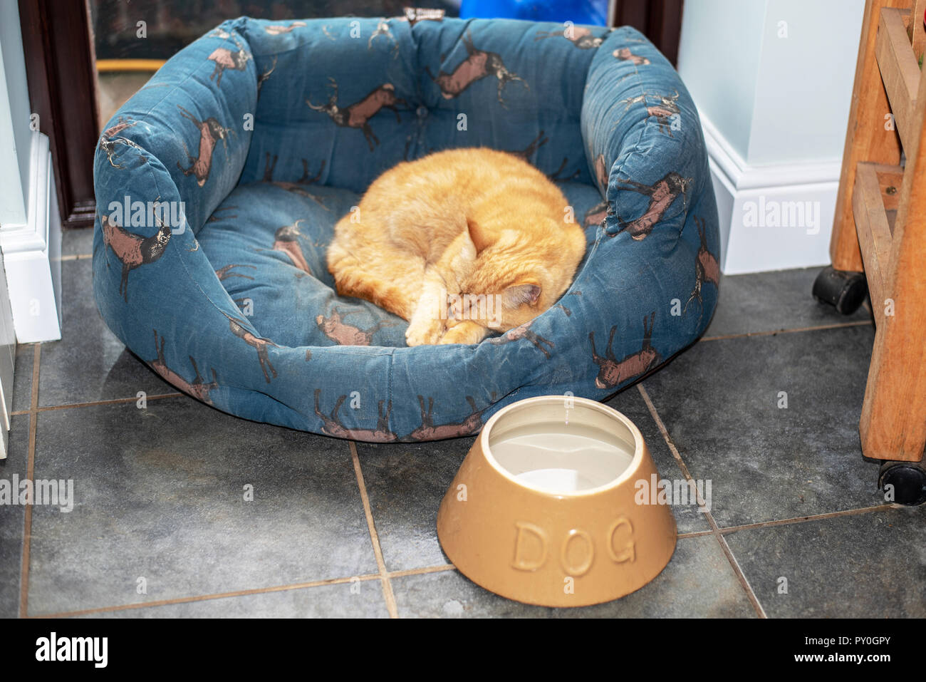 Ginger cat asleep in a dog's bed - Stock Image