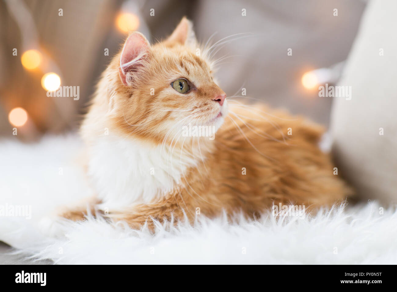 red tabby cat on sofa with sheepskin at home - Stock Image