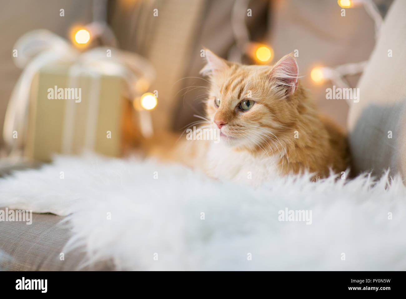 red tabby cat on sofa with christmas gift at home - Stock Image