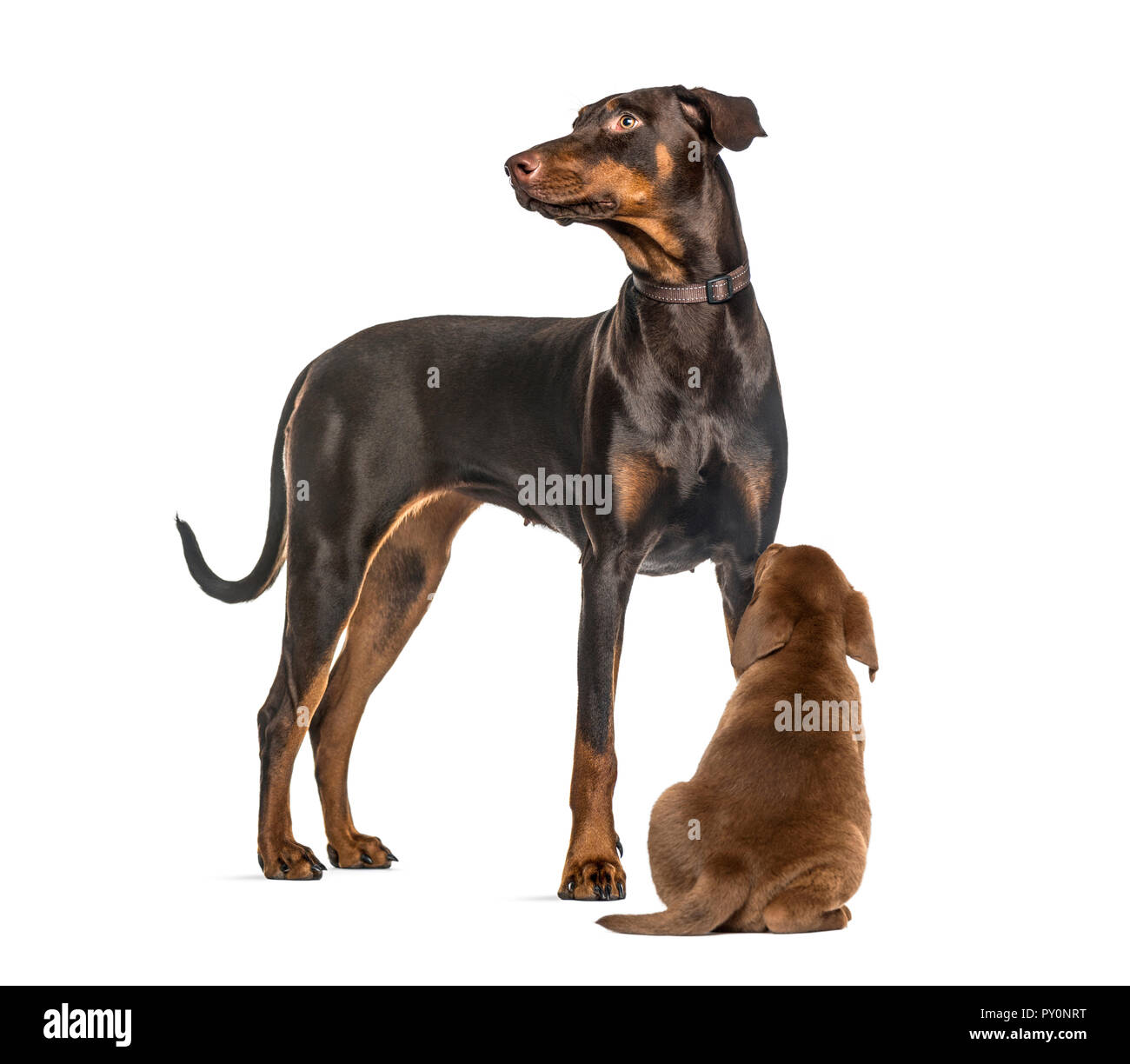 Doberman Puppy Cut Out Stock Images Pictures Alamy