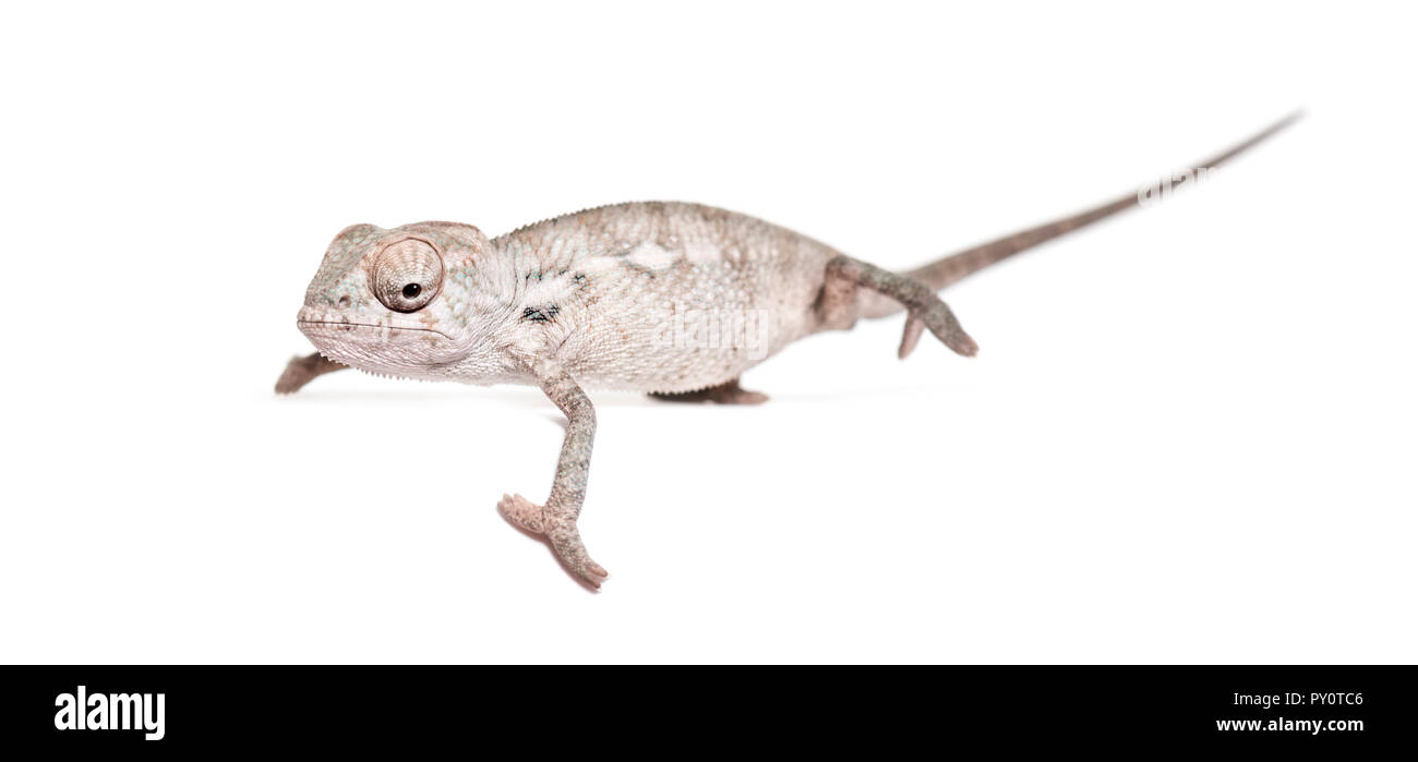 Young veiled chameleon, Chamaeleo calyptratus, standing against white background - Stock Image