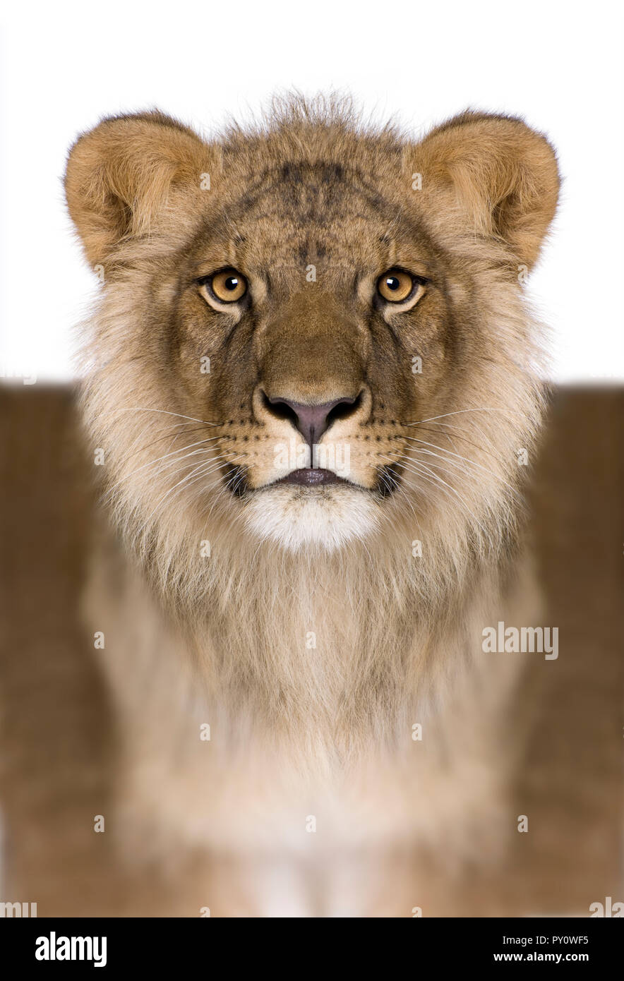 Digitally enhanced Lion, Panthera leo, 9 months old, in front of a white background, studio shot - Stock Image