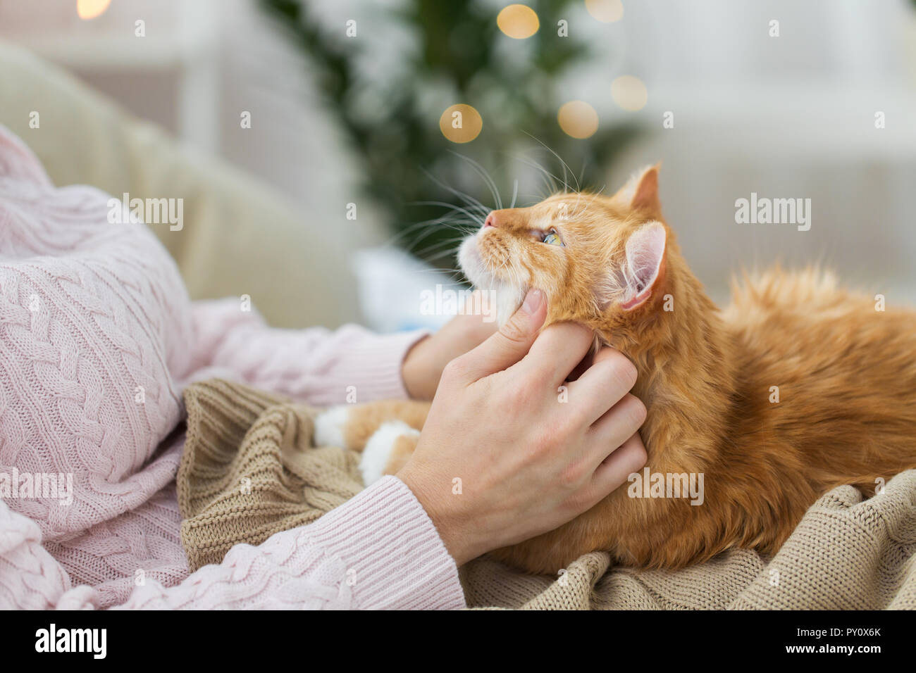 close up of owner stroking red cat in bed at home - Stock Image