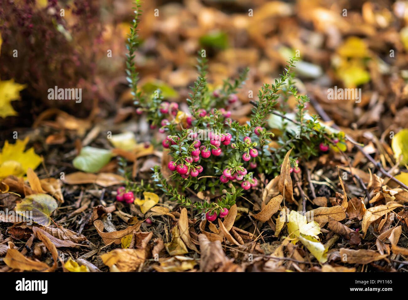Bright short evergreen shrub of cowberry, Vaccinium among the fallen autumn maple foliage. Evergreen plant. Natural picturesque autumn background - Stock Image