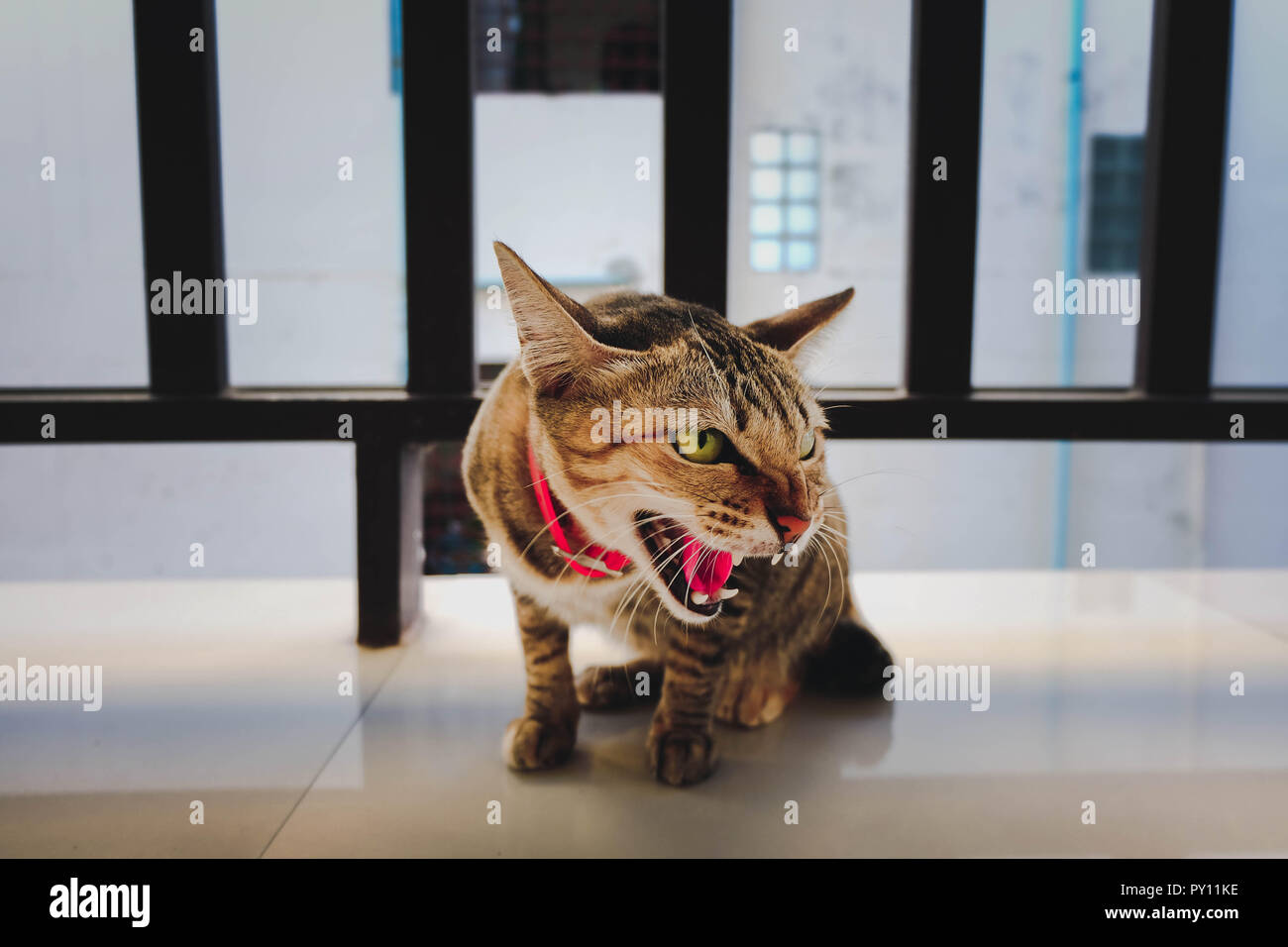 The feral cat is very angry - Stock Image