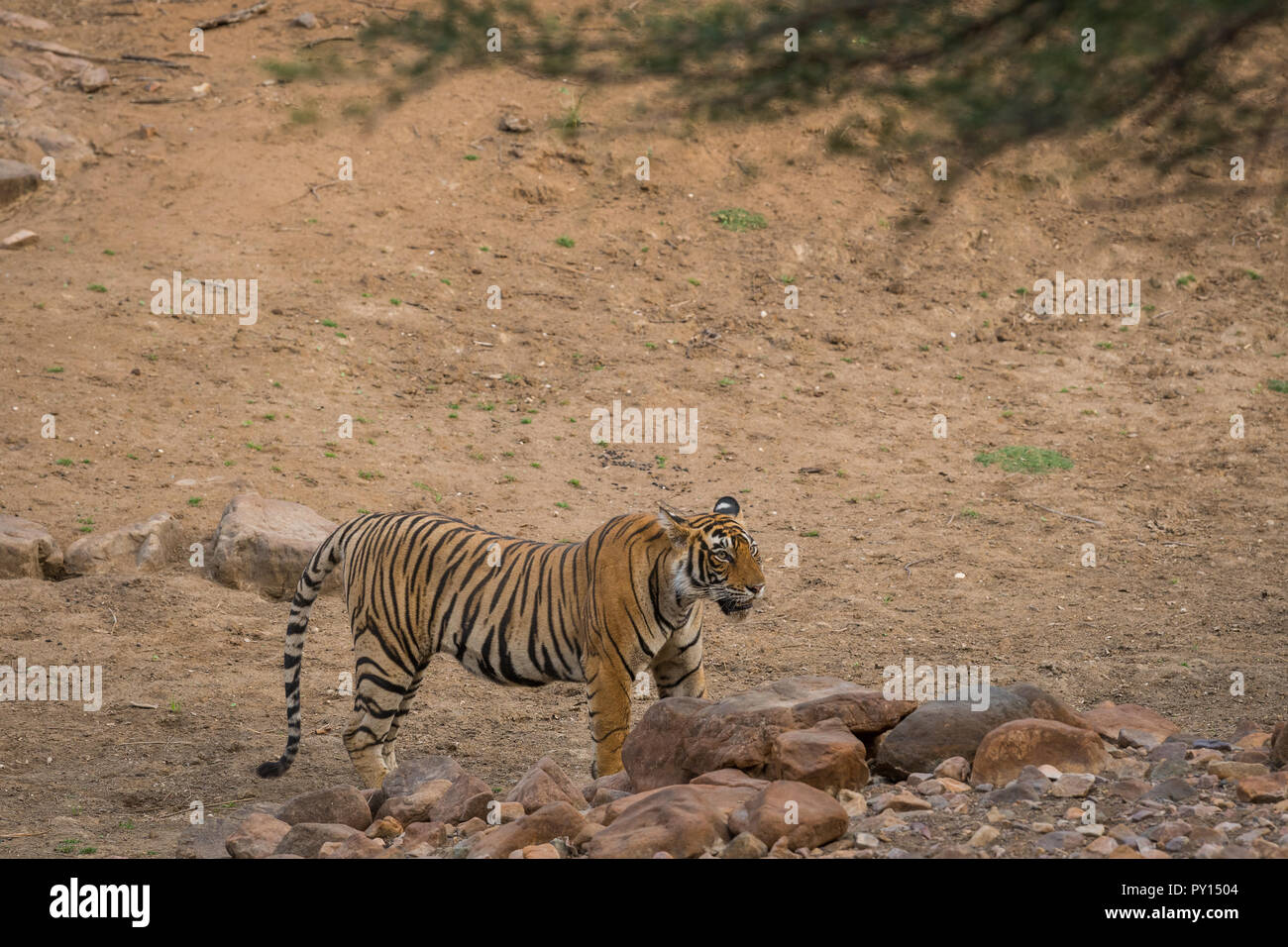 A territorial fight between a male tiger and female sub adult tigress at Ranthambore National Park, India - Stock Image