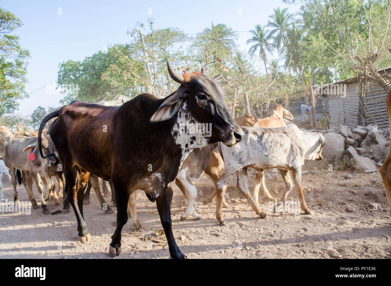Bulls and cows being herded by a dog and humans in a dirt trail at the beach. - Stock Image