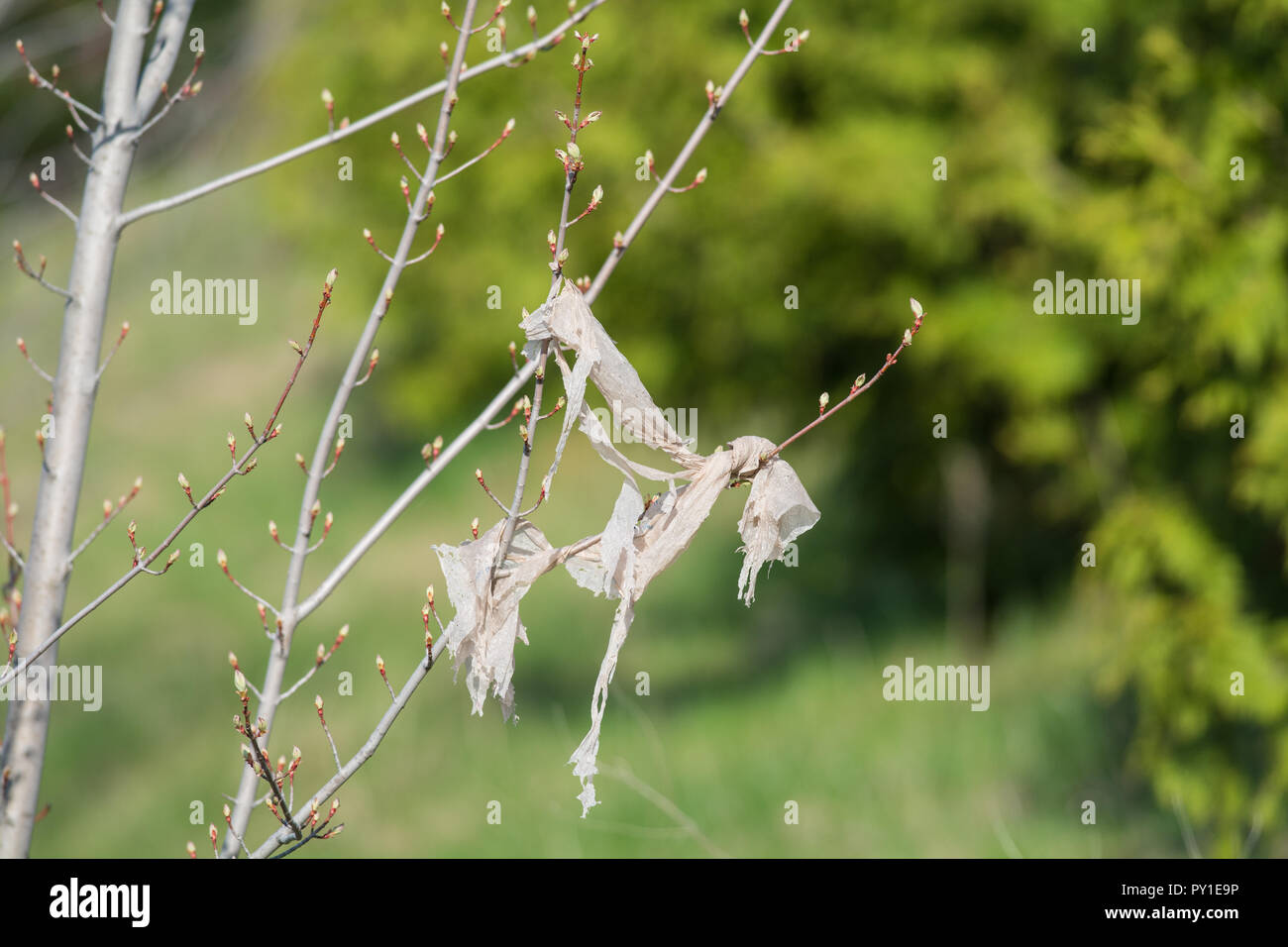 A plastic shopping bag slowly breaks down in the branches of a young tree. - Stock Image