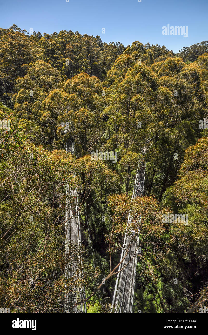 Great Otway National Park. Otway fly tree top walk. Walk among the tops of trees in the Australian forest, near the town of Apollo Bay (which is locat Stock Photo