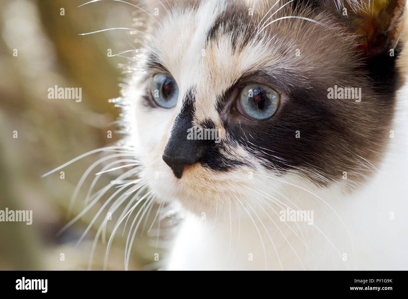 Close-up of a calico cat - Stock Image