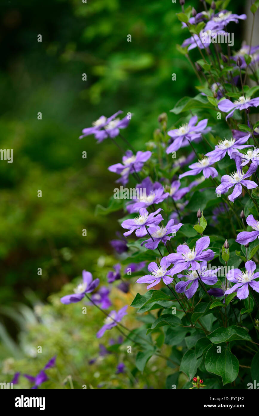 clematis integrifolia arabella,non twining,non climbing,climbing,scrambling,blue,blue-mauve, flower,flowers,flowering,perennial,RM Floral - Stock Image