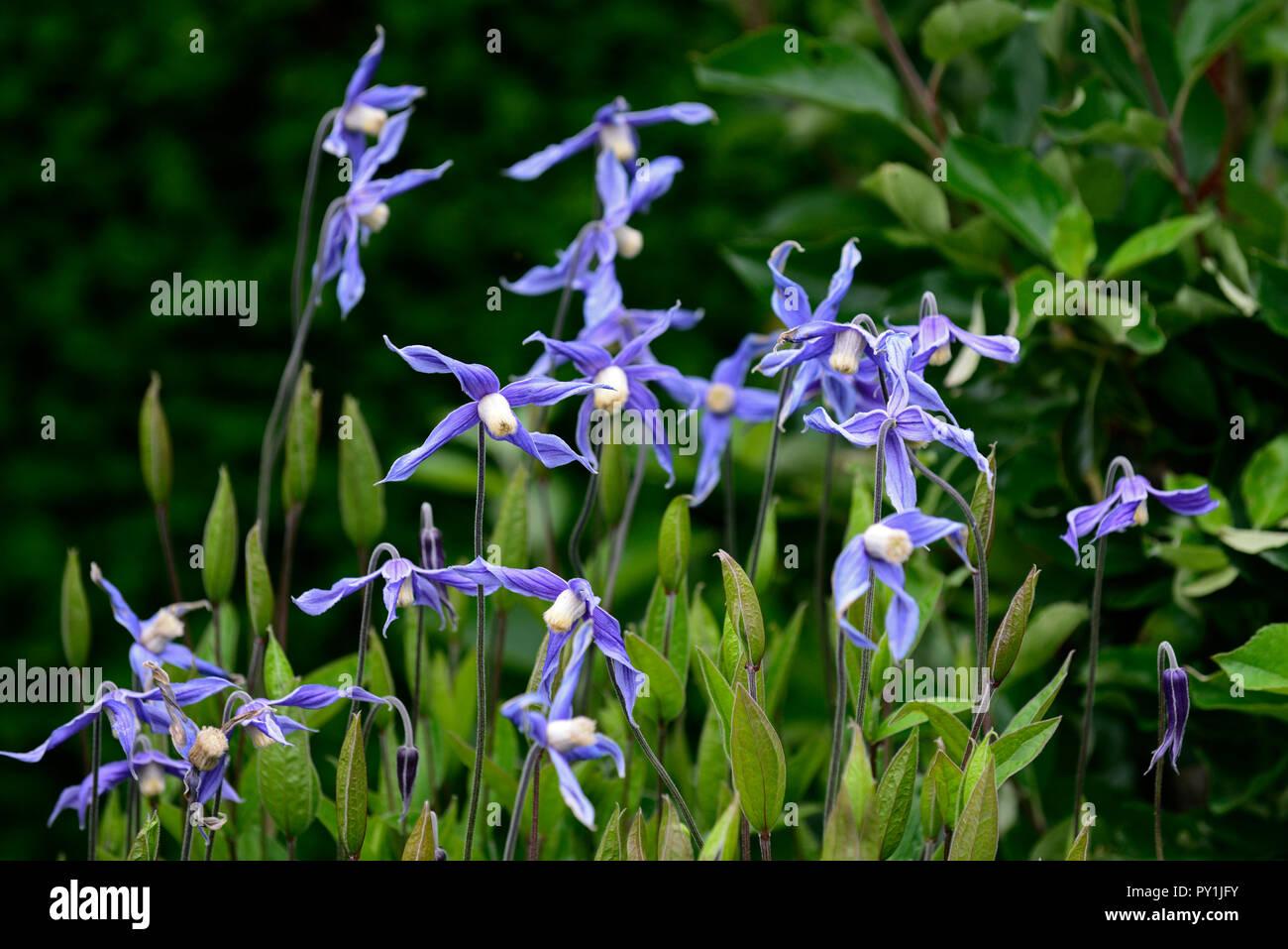 clematis integrifolia,non twining,non climbing,climbing,scrambling,blue flower,flowers,flowering,perennial,RM Floral - Stock Image