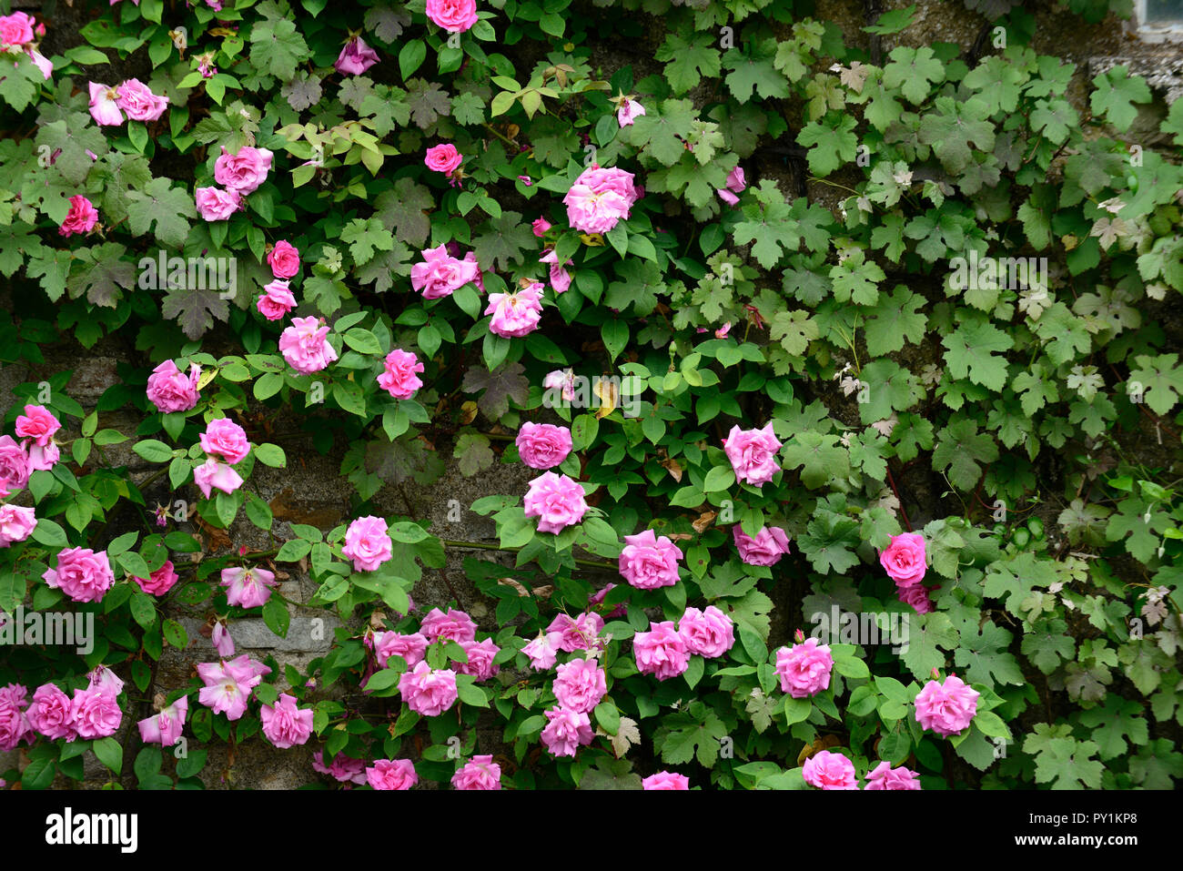 rosa Zéphirine Drouhin,climbing rose, thornless, pink ,repeat flower, flowering, flowers, summer, fragrant, scented ,wall,cover,covering,RM Floral - Stock Image