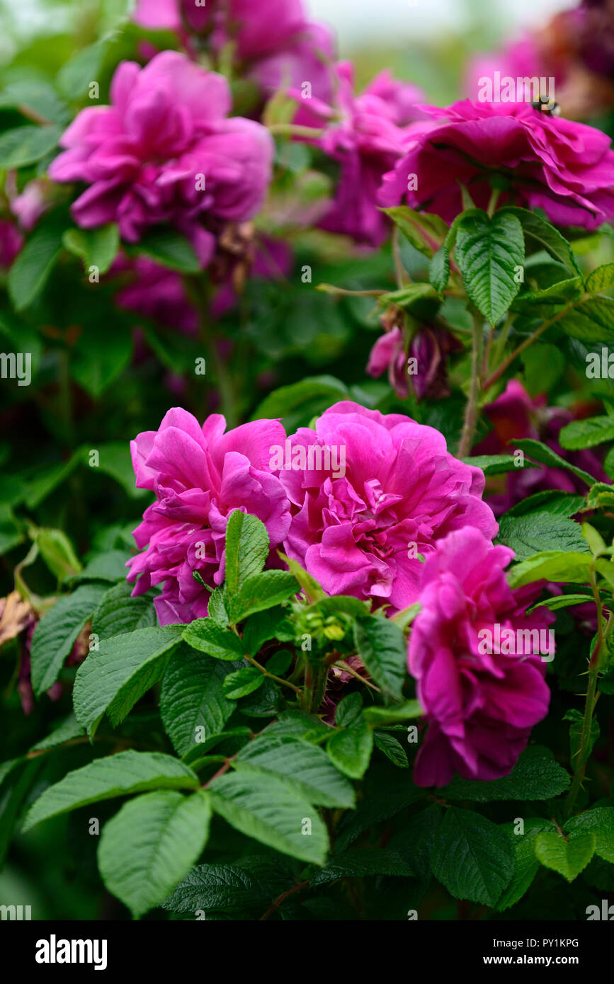 Rosa James Veitch,Rose James Veitch, repeat flowering old-rose,mauve,pink,purple,RM floral - Stock Image