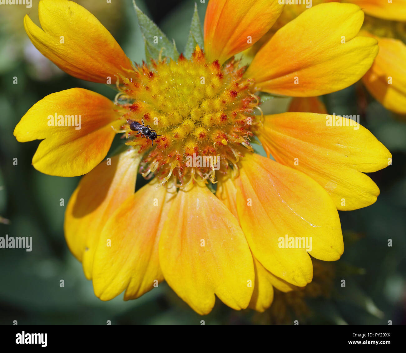 Orange fly on orange flower - Stock Image