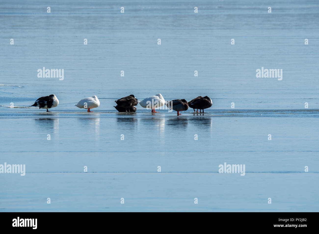 Two American Pekin ducks and hybrid ducks sleep while standing on a frozen lake in Oklahoma, USA. Stock Photo