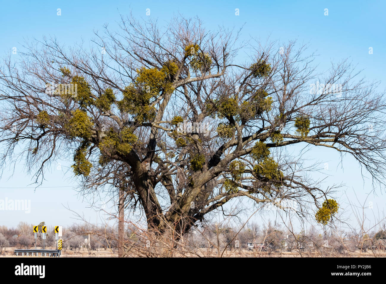 Mistletoe, an obligate hemiparastic plant on host tree in winter. State of Oklahoma official floral emblem. Oklahoma, USA. - Stock Image