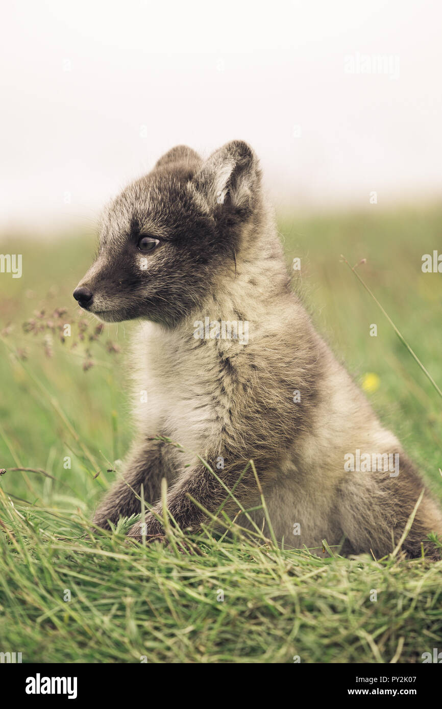 portrait of a young playful arctic fox cub in iceland, summer - Stock Image