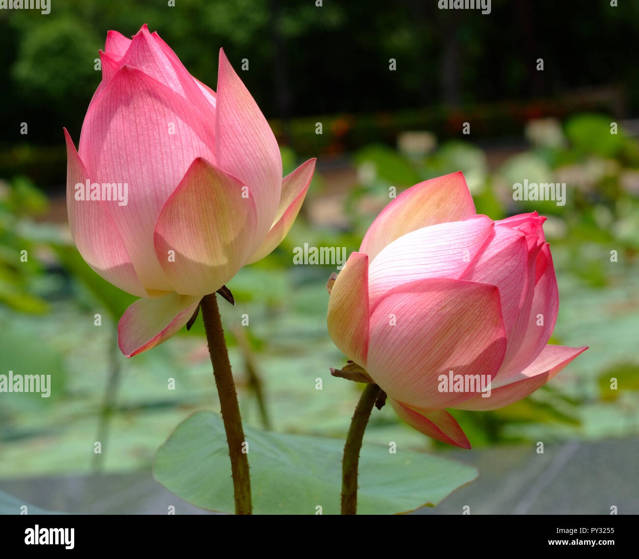 Lotus Flower Rare Flower Ancient Flower Symbol Of Purity Symbol