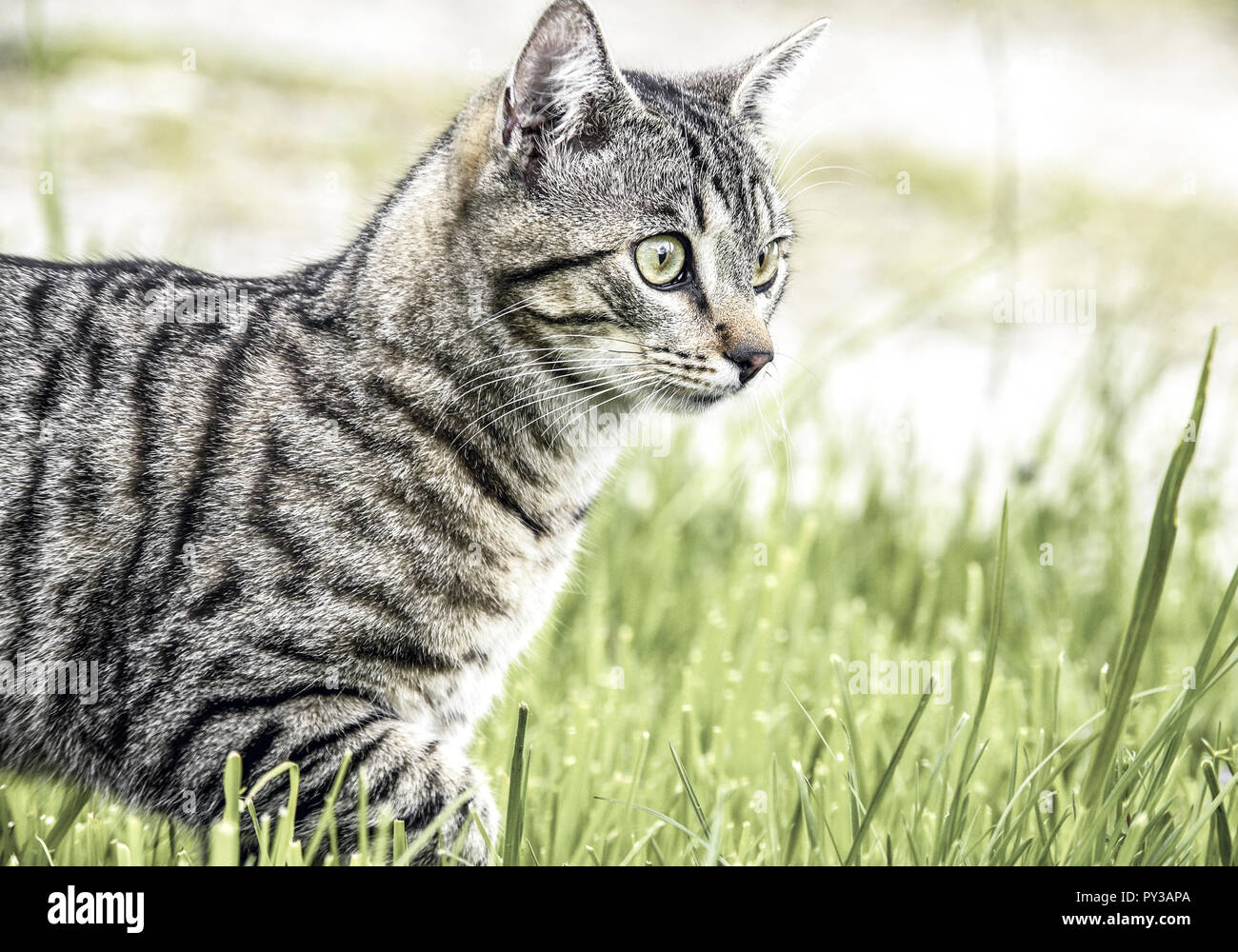 Katze laeuft in Wiese - Stock Image