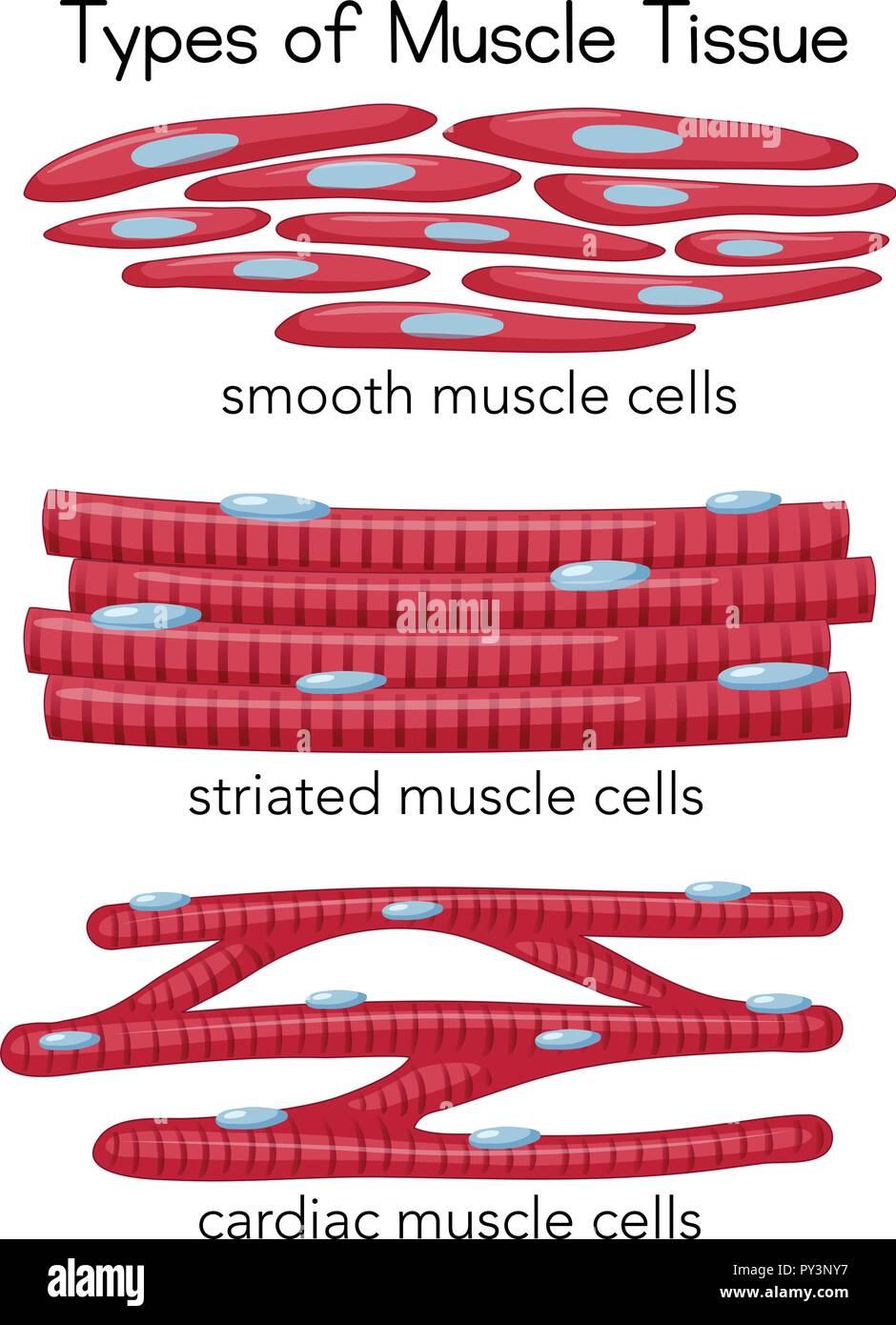 Cardiac Muscle Tissue Stock Photos Cardiac Muscle Tissue Stock