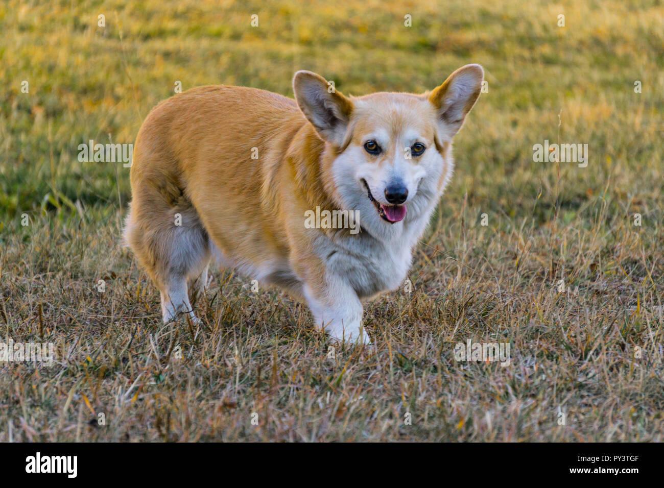 Pembroke welsh corgi dog - Stock Image