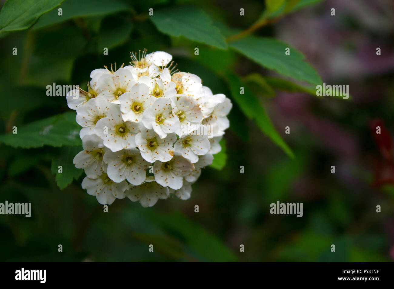 Lantana camara - Stock Image