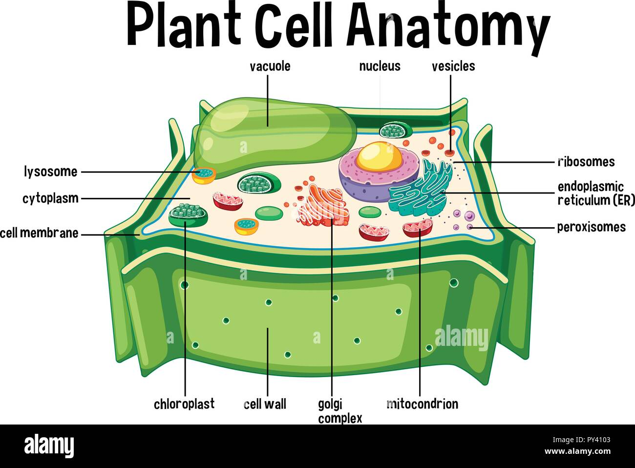 Lysosome Stock Photos Images Alamy Eukaryotic Plant Cell Diagram This Is A Anatomy Illustration Image