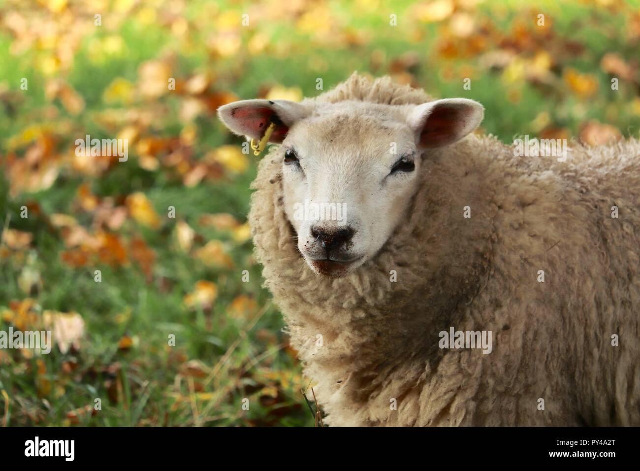 Black Nose Of Sheep Stock Photos Black Nose Of Sheep Stock