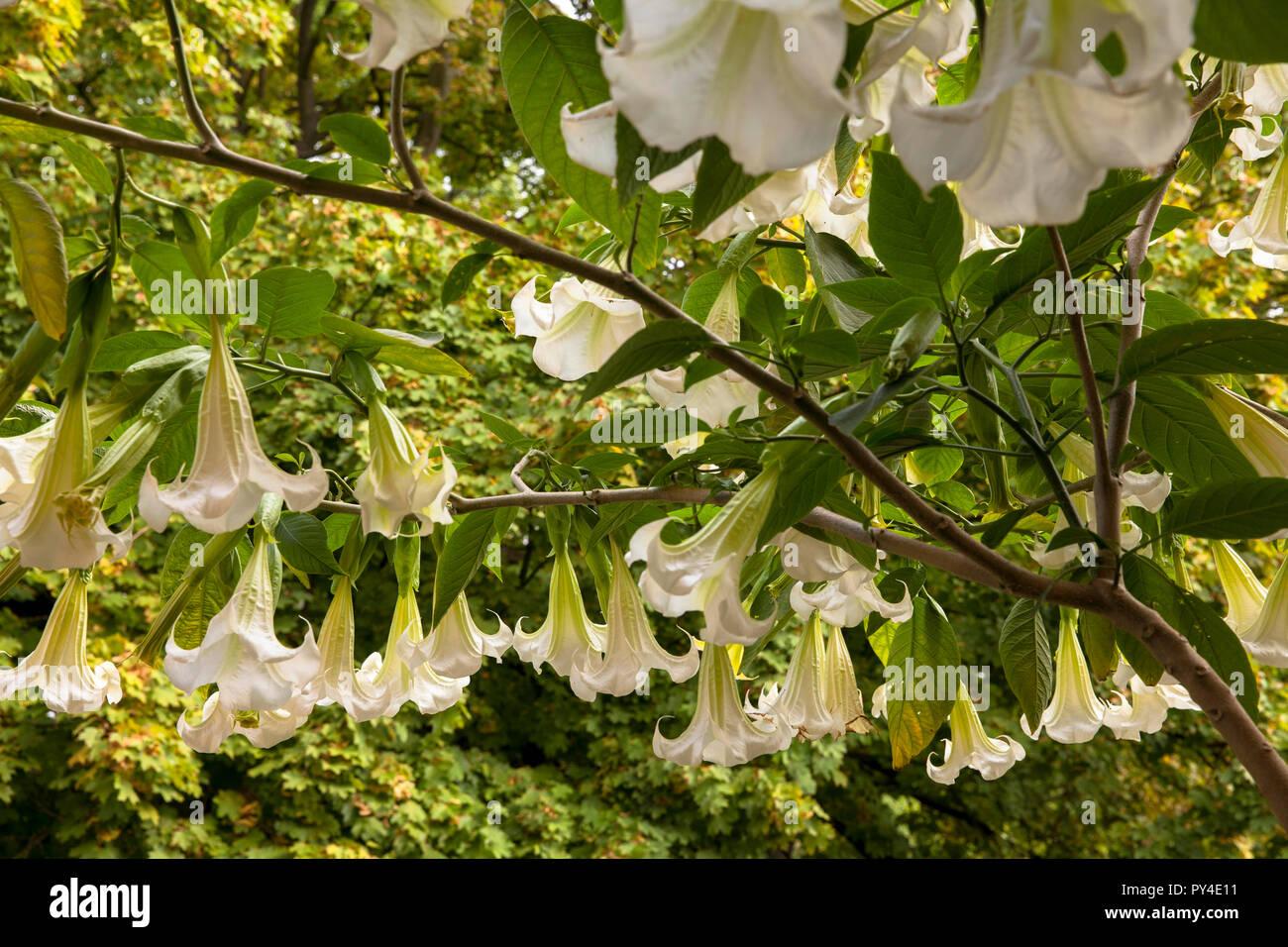 flourishing Angel Trumpet (lat. Brugmansia).  bluehende Engelstrompete (lat. Brugmansia). - Stock Image