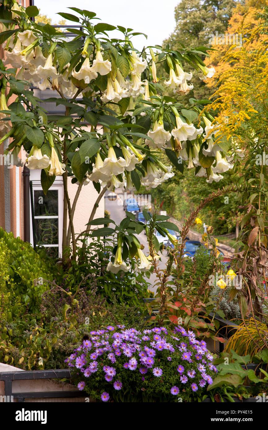 flourishing Angel Trumpet (lat. Brugmansia) on a balcony.  bluehende Engelstrompete (lat. Brugmansia) auf einem Balkon. - Stock Image