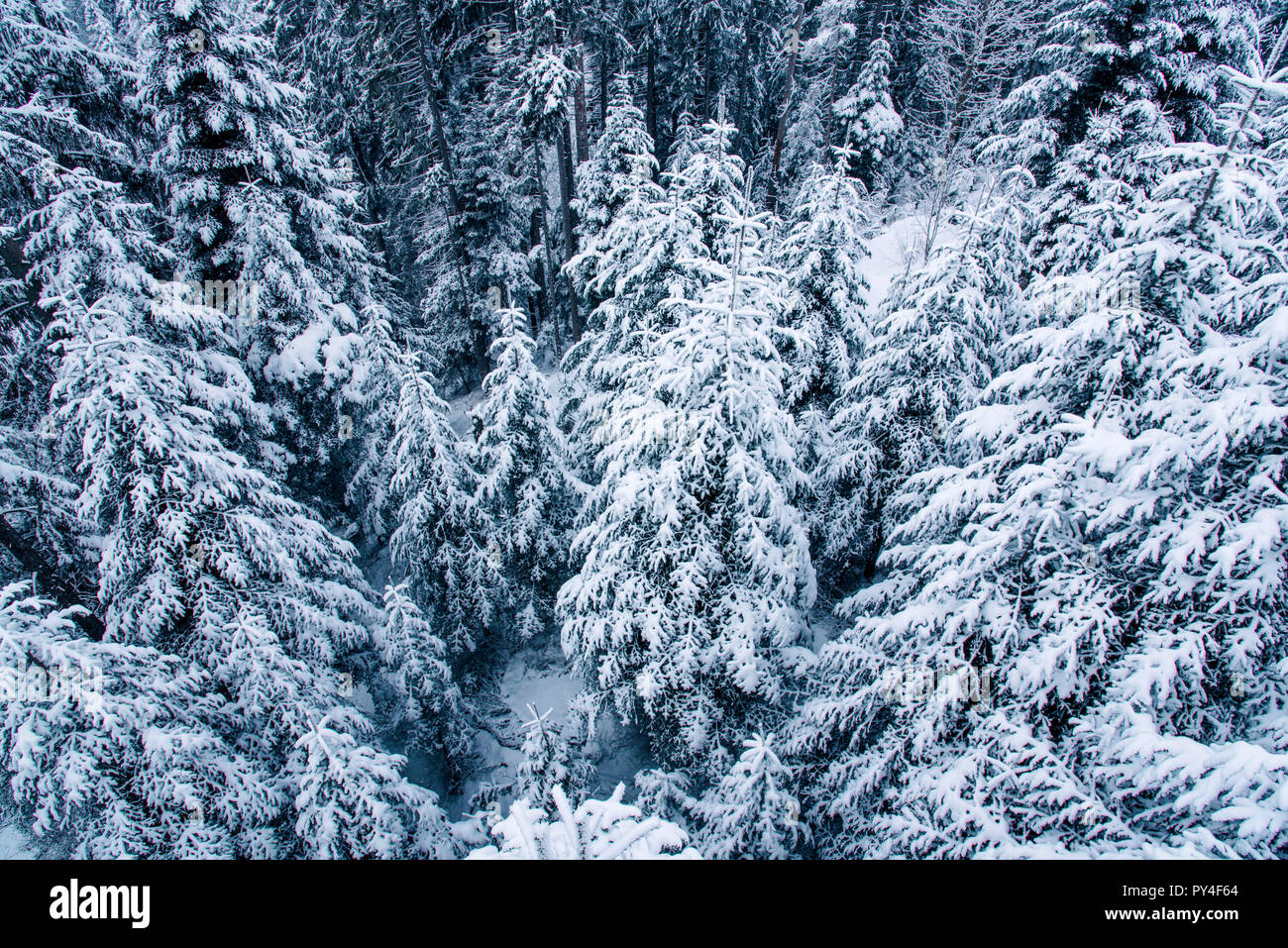 View of snow covered pine forest in Switzerland. Stock Photo