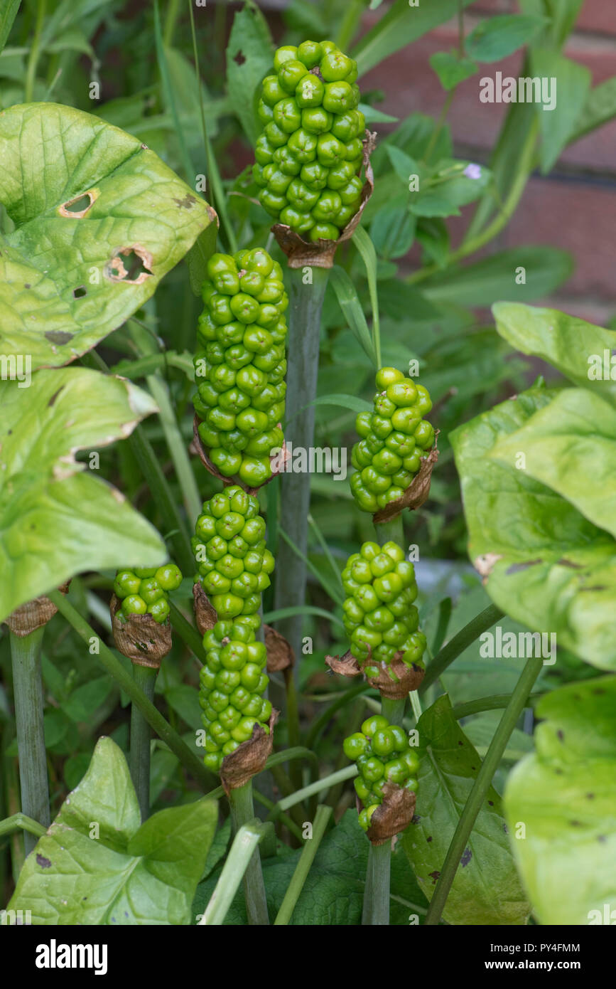Unripe green fruit or berries on wild arum, cuckoo pint or lords and ladies, Arum maculatum, Berkshire, June - Stock Image