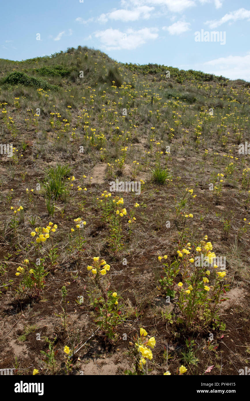 Evening primrose and sparse marram grass growing on Bantham Beach controlling wind erosion on the sand dunes, South Devon, July - Stock Image