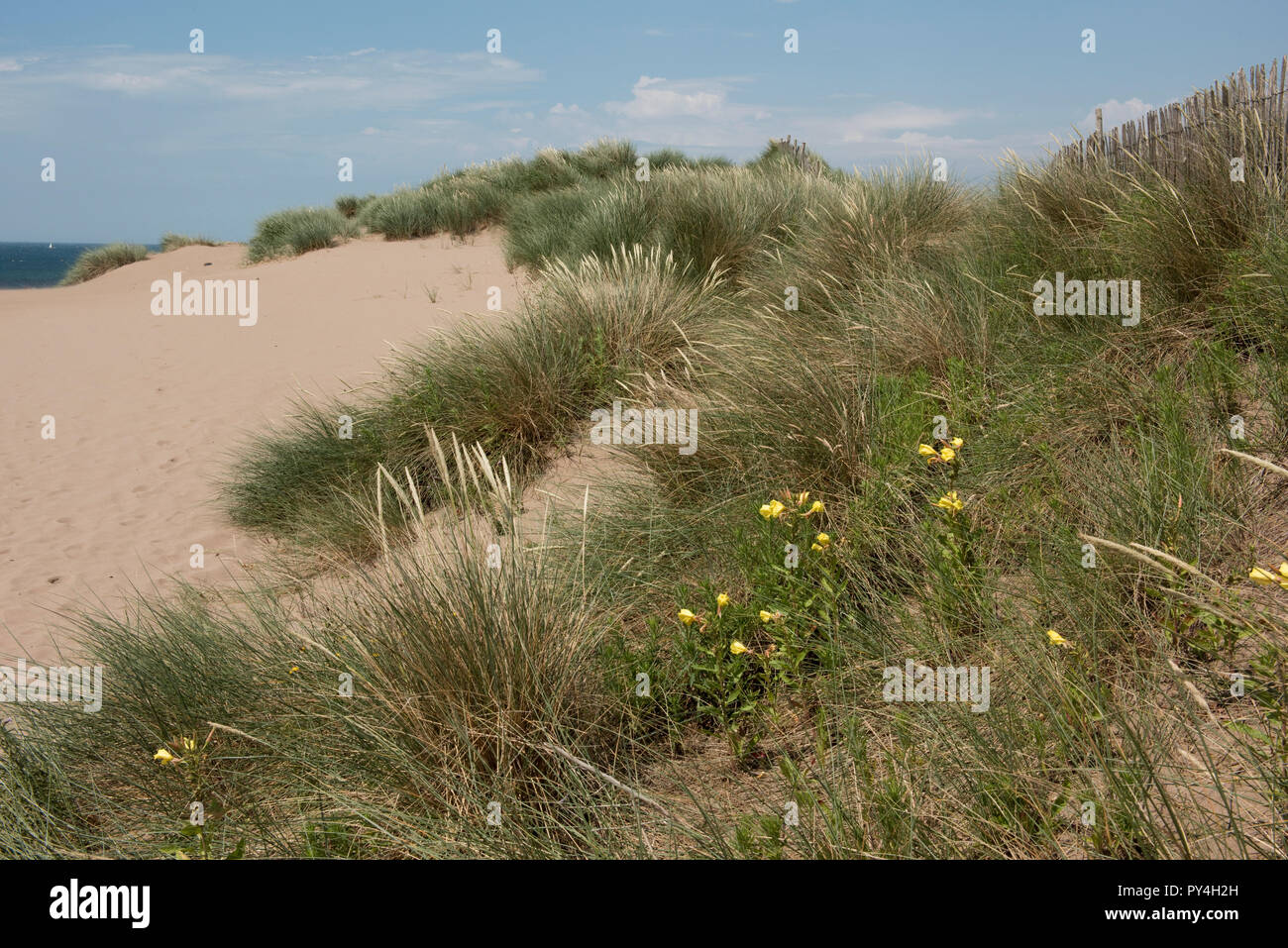 Evening primrose and marram grass growing on Bantham Beach controlling wind erosion on the sand dunes, South Devon, July - Stock Image