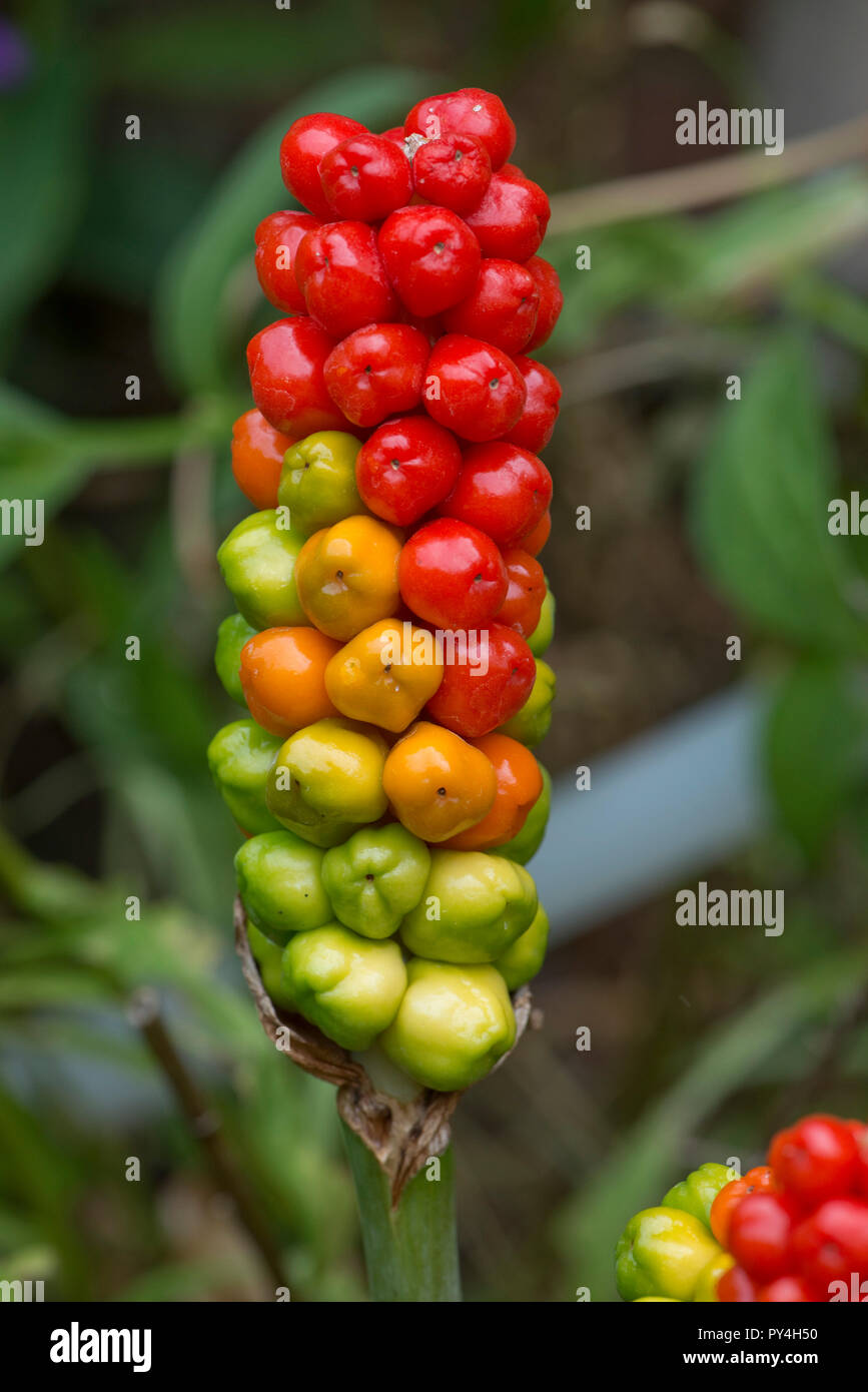 Ripening red, green and yellow fruit or berries on wild arum, cuckoo pint or lords and ladies, Arum maculatum, Berkshire, June Stock Photo