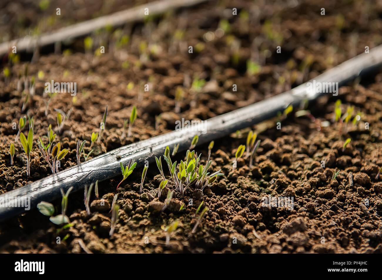 Seedlings emerge from the spring soil. - Stock Image