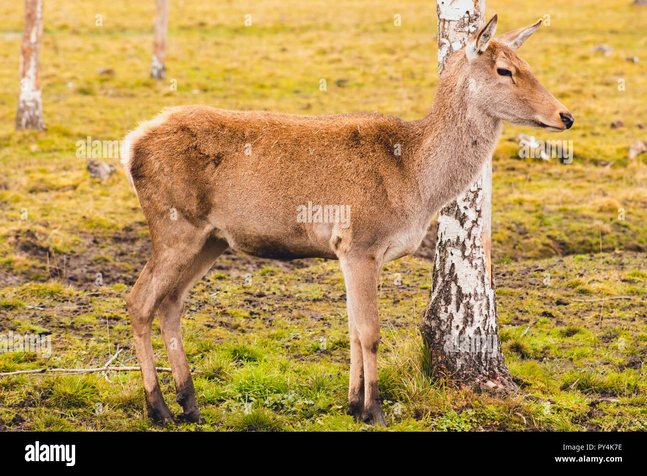 A young deer who has not yet grown horns walks through the pasture and stopped at the birch feeling the danger. The animal lives in the reserve. - Stock Image