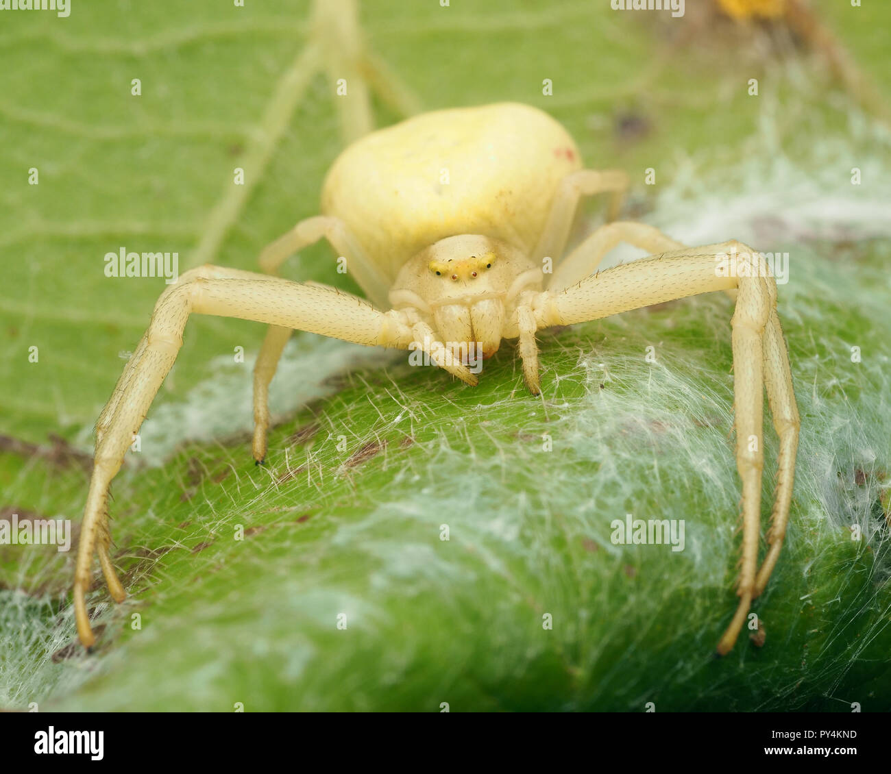 Female Crab spider (Misumena vatia) guarding her eggs. Tipperary, Ireland - Stock Image