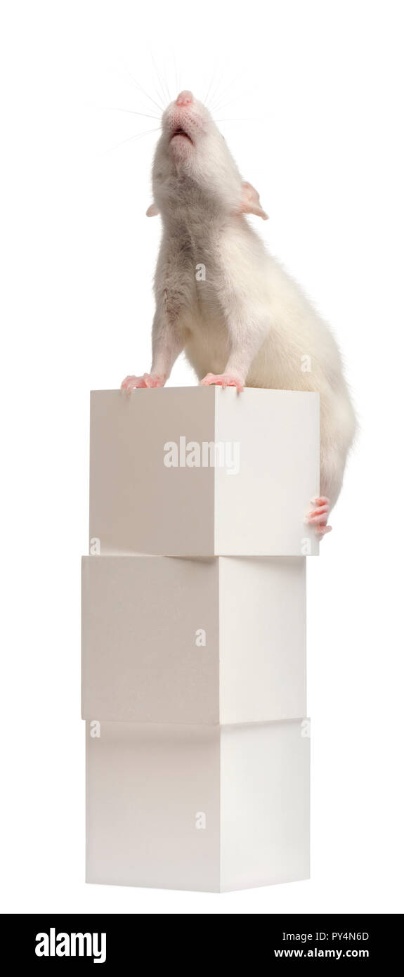 Common rat or sewer rat or wharf rat, Rattus norvegicus, 4 months old, on box, in front of white background - Stock Image