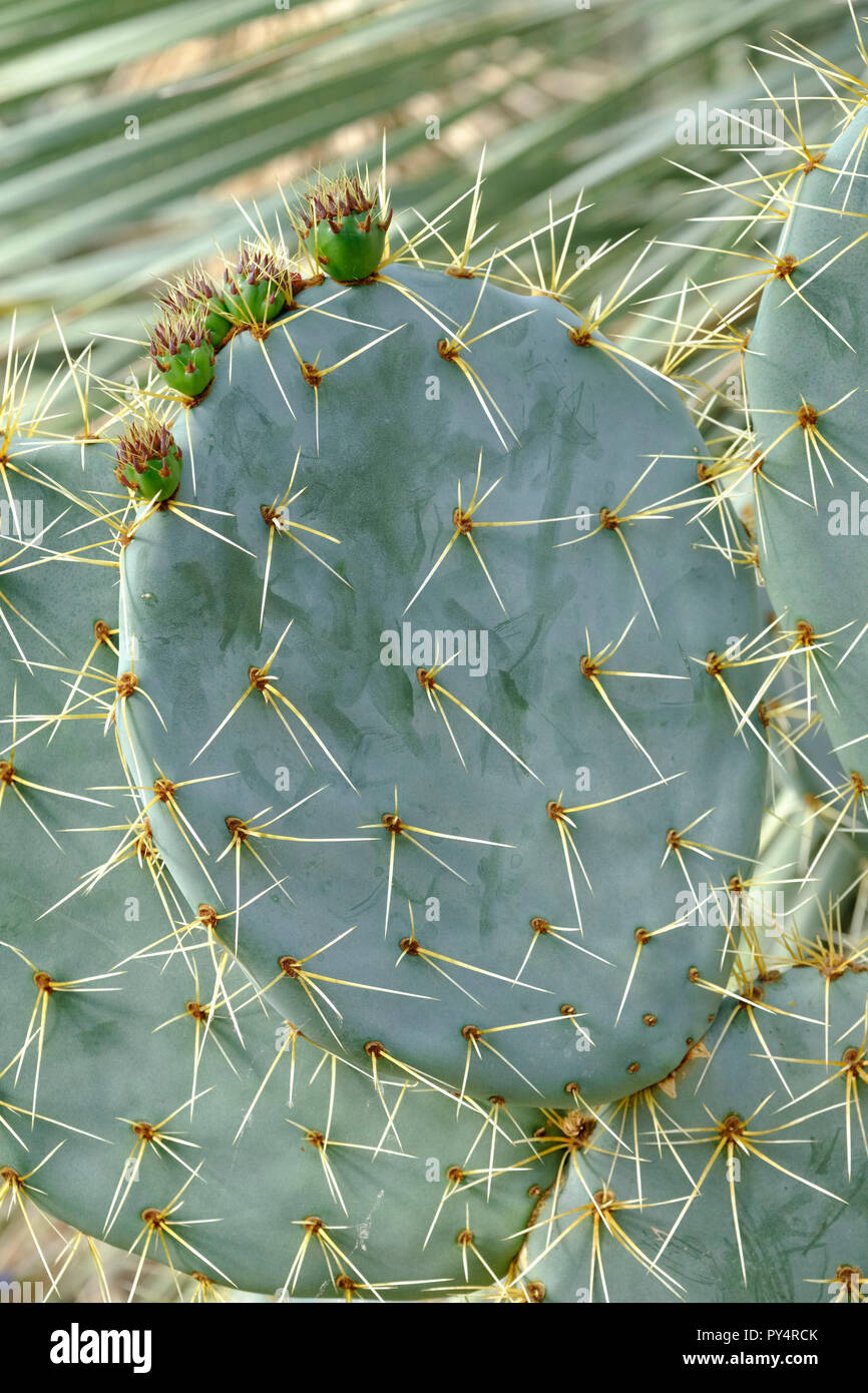Close-up of spine covered stem segments with five immature prickly pears (Opuntia robusta) Stock Photo