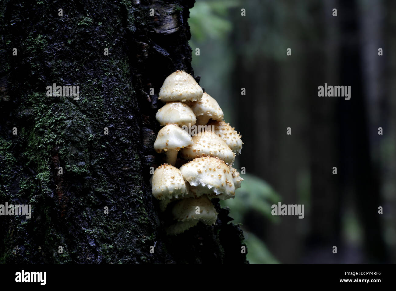 Pholiota squarrosa, commonly known as the shaggy scalycap, the shaggy Pholiota, or the scaly Pholiota. - Stock Image