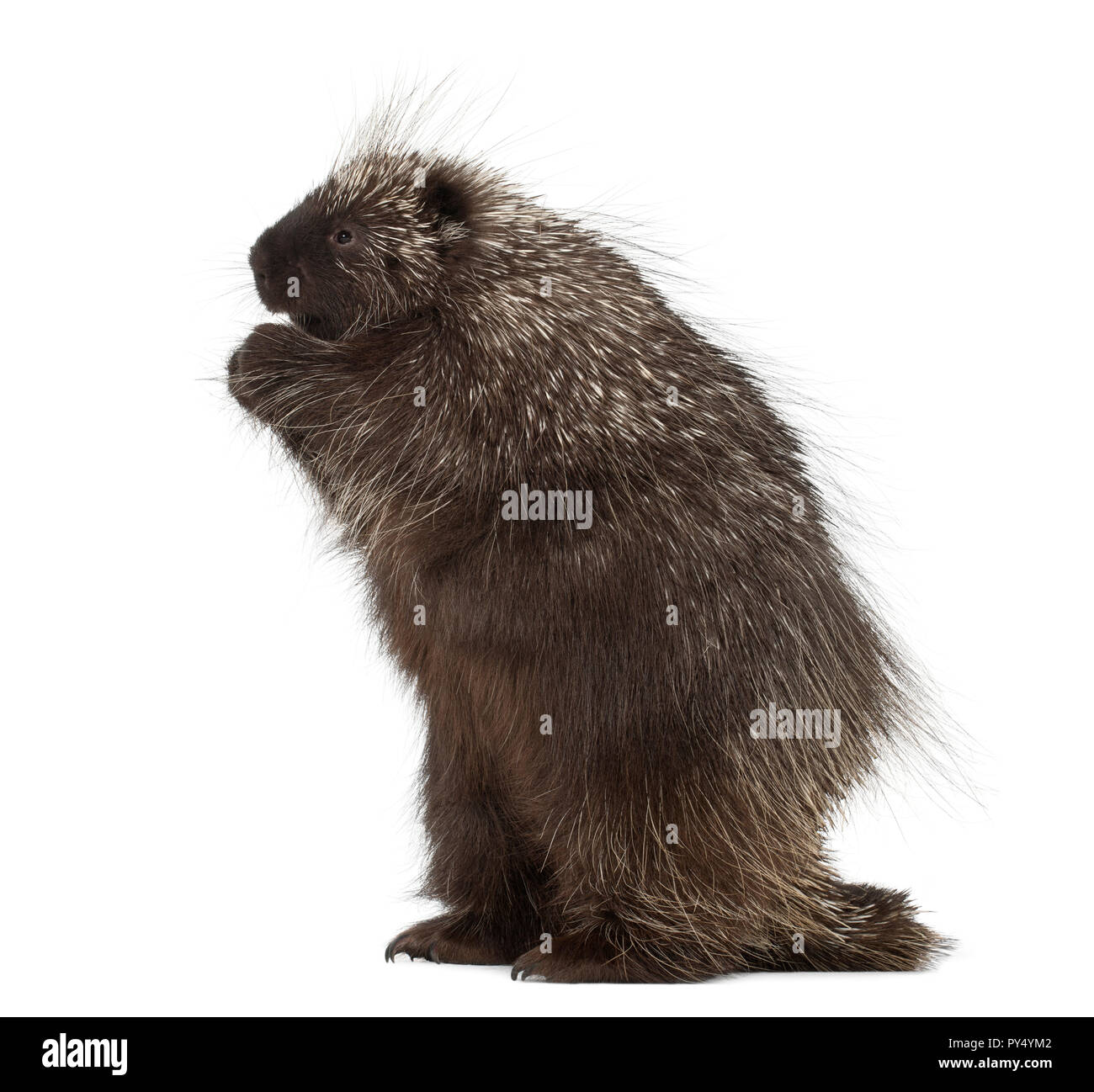 North American Porcupine standing on hind legs, Erethizon dorsatum, also known as Canadian Porcupine or Common Porcupine against white background Stock Photo