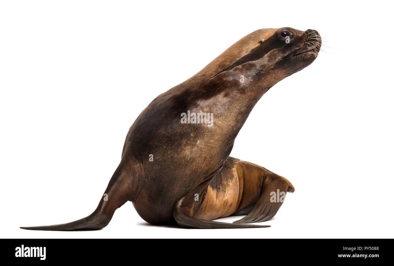 california sea lion 17 years old looking right against white background PY5088