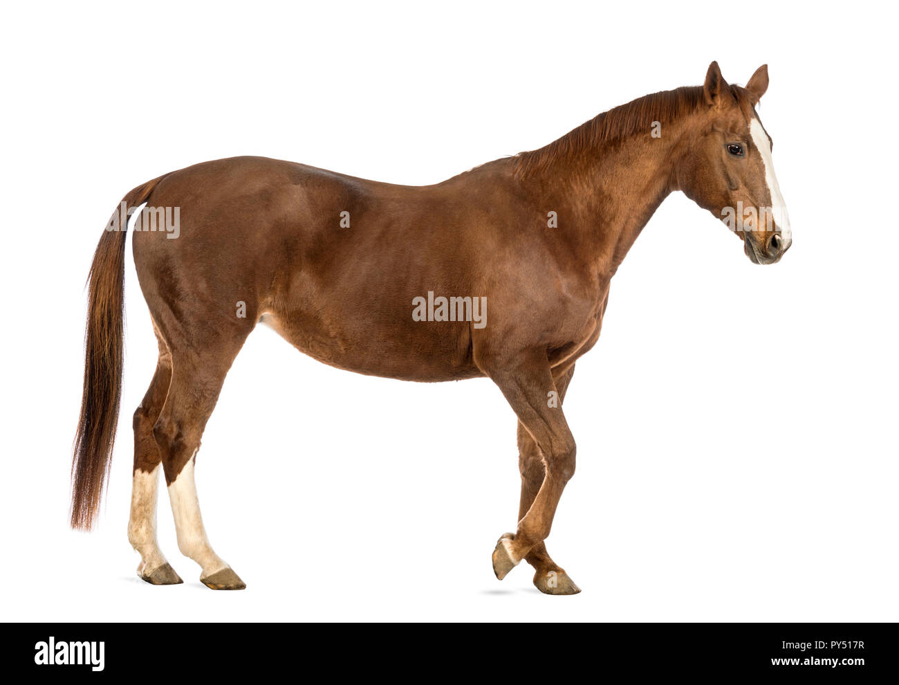 Side view of a Horse walking in front of white background Stock ...