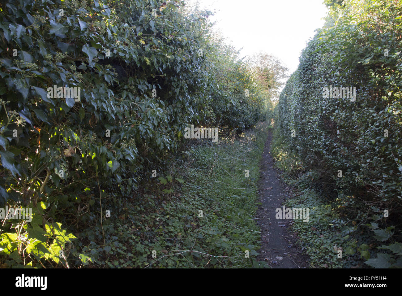 Path between hedges in Bungay. - Stock Image